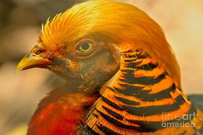 Golden Pheasant Brilliant Colors Poster by Adam Jewell