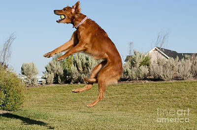 Golden Retriever Catching A Ball Poster by William H. Mullins