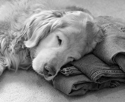 Golden Retriever Dog On Forever On Blue Jeans Black And White Poster by Jennie Marie Schell