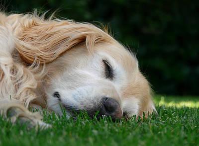 Golden Retriever Dog Sweet Dreams Poster by Jennie Marie Schell