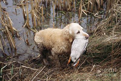 Golden Retriever Dog With Mallard Duck Poster by John Daniels