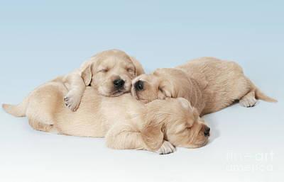 Golden Retriever Puppies Asleep Poster by John Daniels