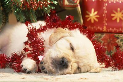 Golden Retriever Under Christmas Tree Poster by John Daniels