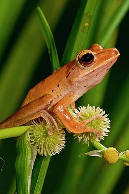 Golden Treefrog, Rhacophorus Poster by David Northcott