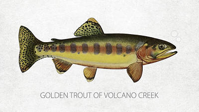 Golden Trout Of Volcano Creek Poster by Aged Pixel