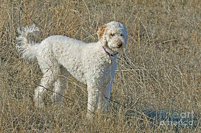Goldendoodle Poster by William H. Mullins
