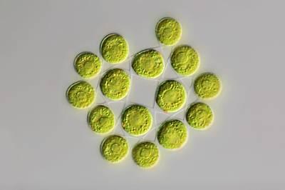 Gonium Green Algae Poster by Frank Fox