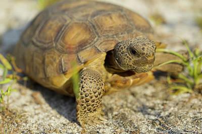 Gopher Tortoise, Gopherus Polyphemus Poster by Maresa Pryor