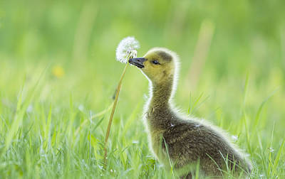 Gosling With Dandelion Poster by Mircea Costina Photography