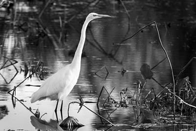 Graceful Great Egret In Black And White Poster by Ellie Teramoto
