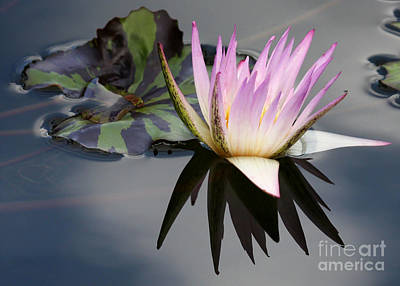 Graceful Water Lily Poster by Sabrina L Ryan