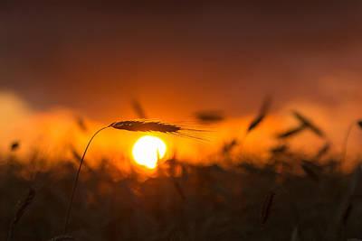 Sunset Over The Cornfield Poster by Aldona Pivoriene