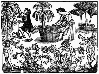 Grape Harvest, 1576 Poster by Granger