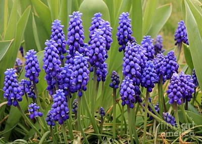 Grape Hyacinth Poster by Carol Groenen