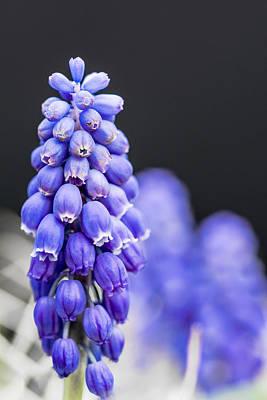 Grape Hyacinth Poster by Jon Woodhams