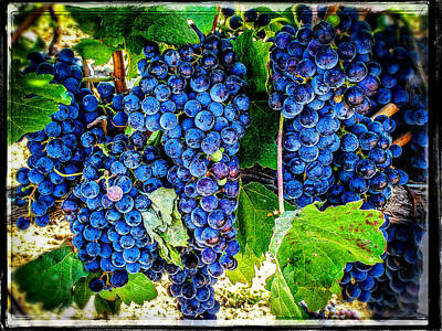 Grapes Of Art 3 Poster by Roxy Hurtubise