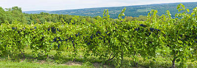 Grapevines In A Vineyard, Finger Lakes Poster by Panoramic Images