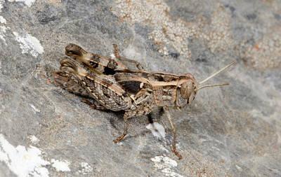 Grasshopper Calliptamus Barbarus Juvenile Poster by Nigel Downer