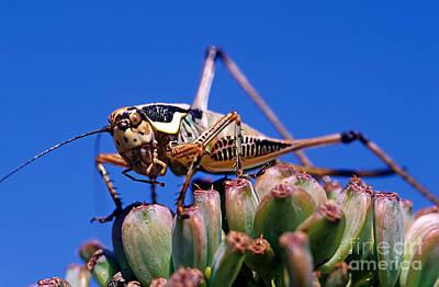 Grasshopper Poster by George Atsametakis