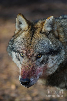 Gray Wolf Portrait Poster by Willi Rolfes