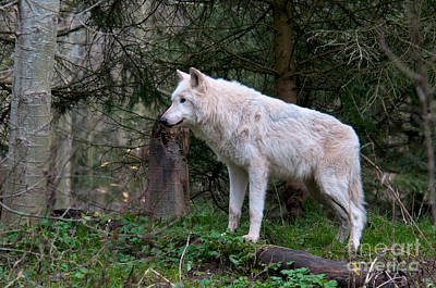 Gray Wolf White Morph Poster by Mark Newman