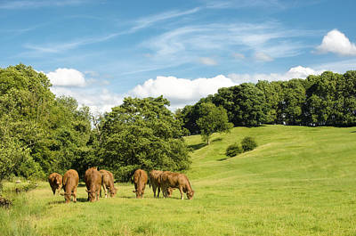 Grazing Summer Cows Poster by Amanda Elwell