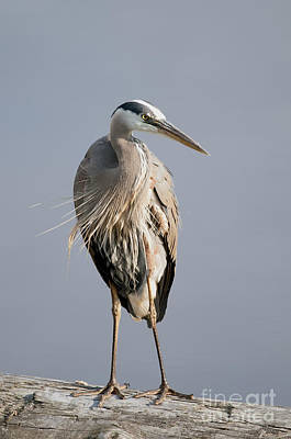 Great Blue Heron 2 Poster by Sharon Talson