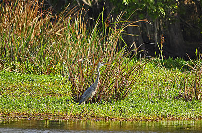 Great Blue Heron Poster by Al Powell Photography USA