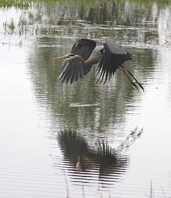Great Blue Heron  Poster by Angie Vogel