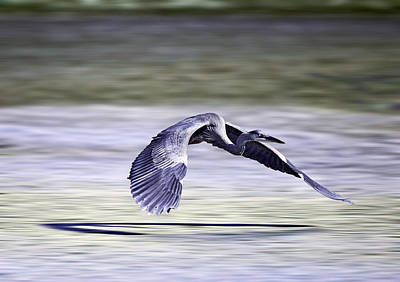 Great Blue Heron In Flight Poster by John Haldane