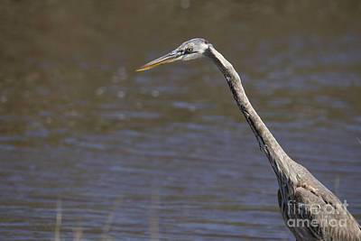 Great Blue Heron Poster by Twenty Two North Photography