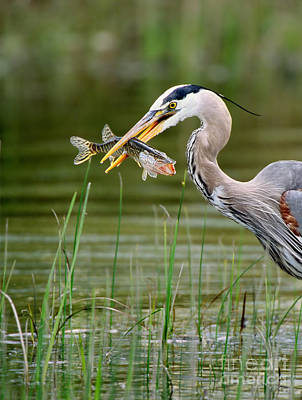 Great Blue Heron With Prey Poster by Scott Linstead