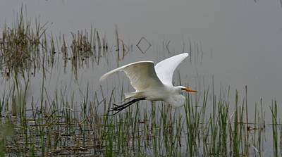 Great Egret Flying Poster by Dan Sproul