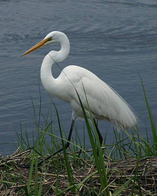 Great Egret Walking 8x10 Poster by David Lynch