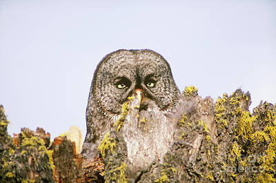 Great Gray Owl At Nest Site Poster by Art Wolfe
