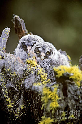Great Gray Owl Owlets Poster by Art Wolfe