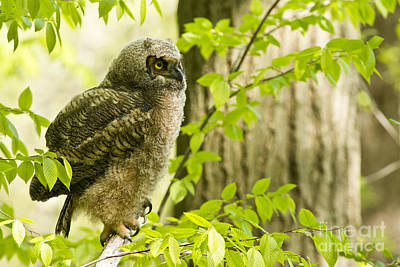 Great Horned Owlet Poster by Michael Cummings