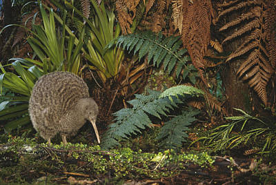 Great Spotted Kiwi Male In Rainforest Poster by Tui De Roy