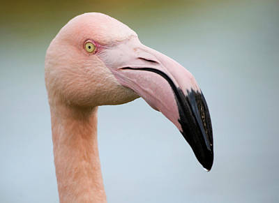 Greater Flamingo Poster by Nigel Downer