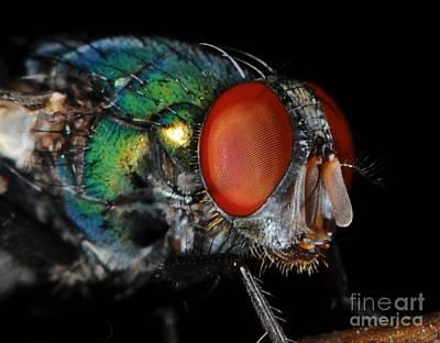 Green Bottle Fly Poster by Paul Ward