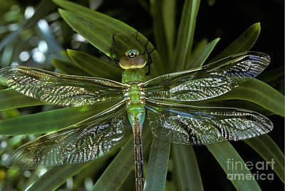 Green Darner Anax Junius On Yew Plant Poster by Ron Sanford
