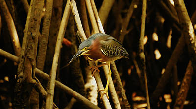 Green Heron Poster by Aged Pixel