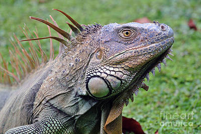 Green Iguana Poster by Li Newton