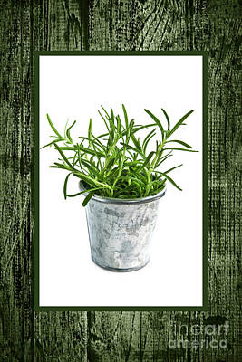 Green Rosemary Herb In Small Pot Poster by Elena Elisseeva