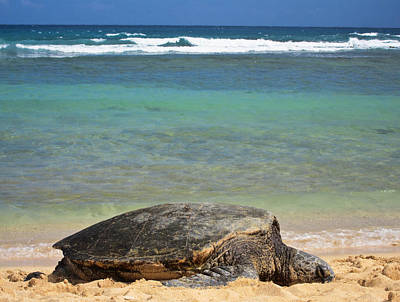 Green Sea Turtle - Kauai Poster by Shane Kelly