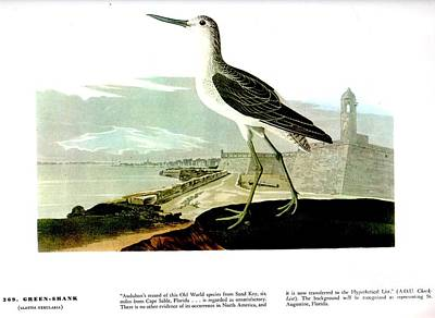 Green Shank Poster by Celestial Images