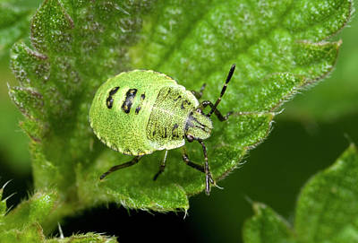 Green Shield Bug Larva Poster by Nigel Downer
