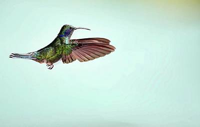 Green Violetear Hummingbird In Flight Poster by Nicolas Reusens