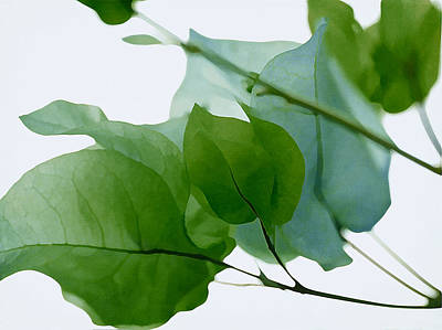 Green With Envy Bougainvillea Poster by Fraida Gutovich