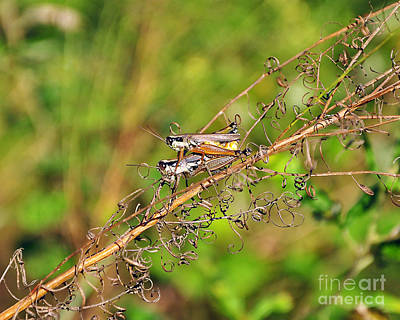 Gregarious Grasshoppers Poster by Al Powell Photography USA